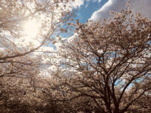 瀬田の長沢川の桜が満開でした!